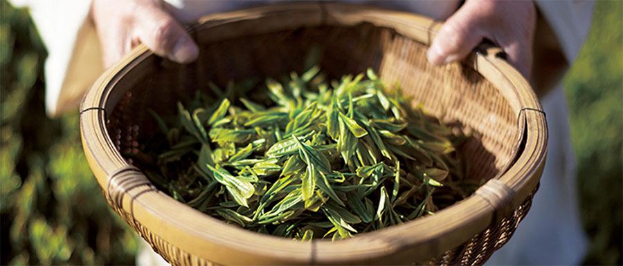 Guia do chá verde japonês